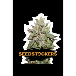 WEDDING CAKE SeedStockers - Sativagrowshop.com
