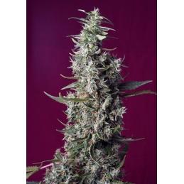 SWEET CHERRY PIE Sweet Seeds – Sativagrowshop.com