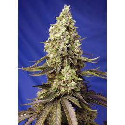 RUNTZ XL AUTO Sweet Seeds – Sativagrowshop.com