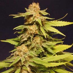 BIG BULL - Kannabia Seeds - Sativagrowshop.com