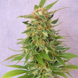 GINGER PUNCH AUTO - Kannabia Seeds - Sativagrowshop.com