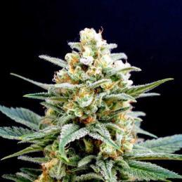 KRITIKAL-K - Kannabia Seeds - Sativagrowshop.com