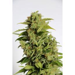 MIKROMACHINE AUTO - Kannabia Seeds - Sativagrowshop.com