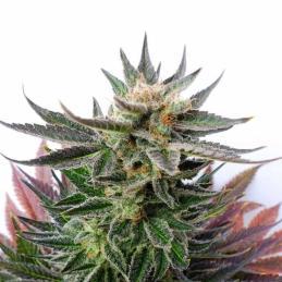 SATIVA DREAM - Kannabia Seeds - Sativagrowshop.com