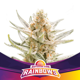 Rainbows BSF SEEDS