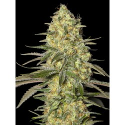 Black Dream EVA SEEDS