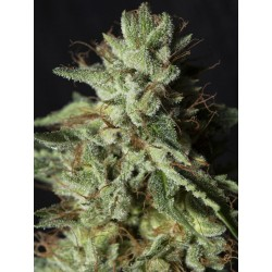 GORILLA CANDY EVA SEEDS