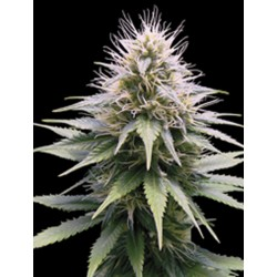 NEW YORK DIESEL AUTOMATICA PROFESSIONAL SEEDS