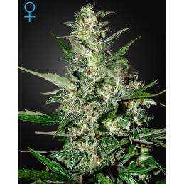 Super Critical (Autofloreciente) GREENHOUSE