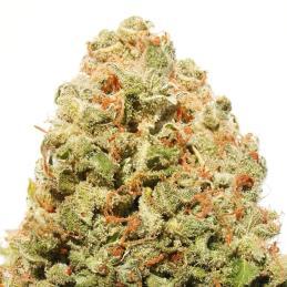 Medizinal CBD