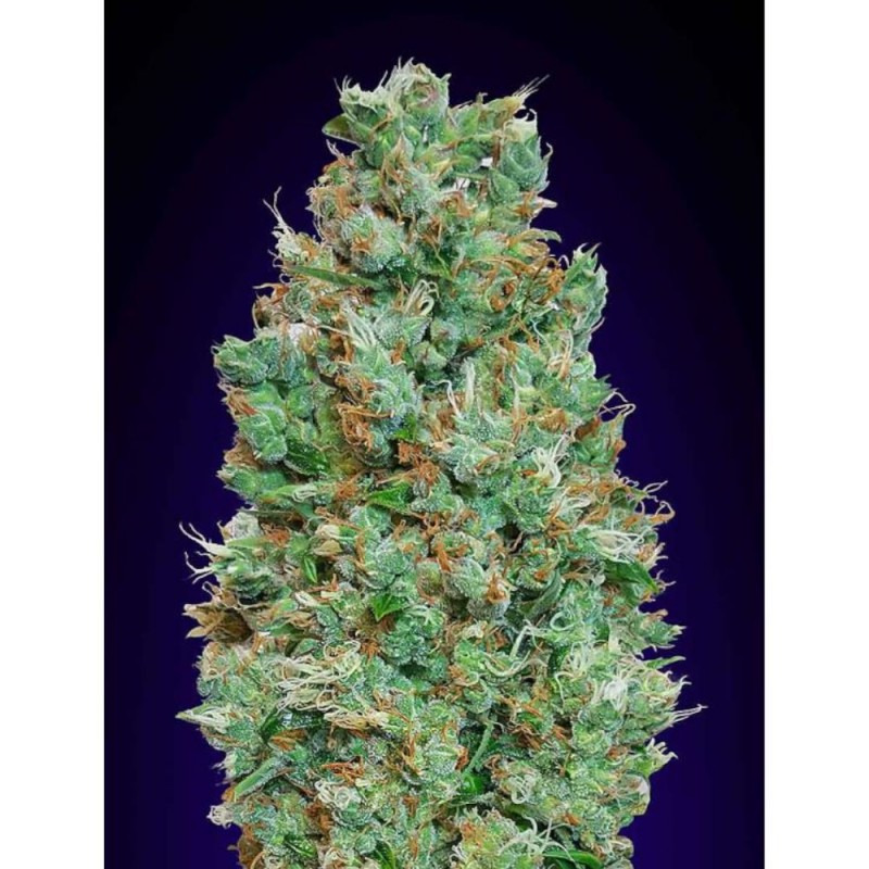 Blueberry 00 Seeds