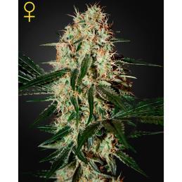 pH Perfect Connoisseur Grow 10L A