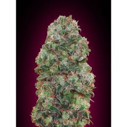 Bubble Gum 00 Seeds
