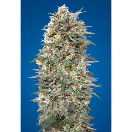 California kush 00 Seeds