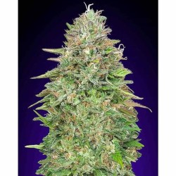 Critical Poison 00 Seeds