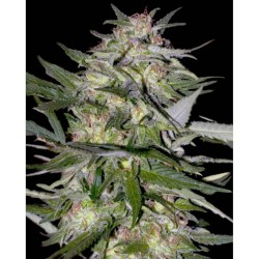 Jack Plant advanced seeds