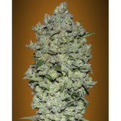 Bio Diesel Mass ADVANCED SEEDS