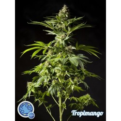 TROPIMANGO PHILOSOPHER SEEDS