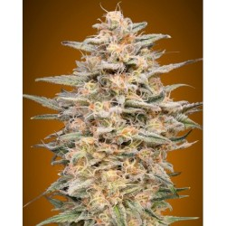 Somango Widow advanced seeds