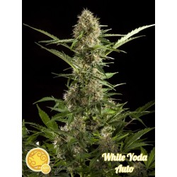 WHITE YODA AUTO PHILOSOPHER SEEDS