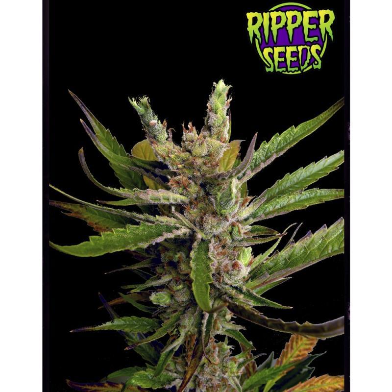 Ripper Haze RIPPER SEEDS