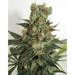 Fuel Og RIPPER SEEDS