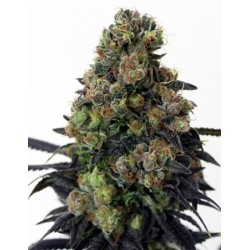 Acid Dough RIPPER SEEDS