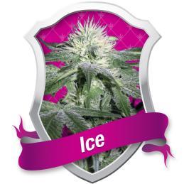 ICE ROYAL QUEEN
