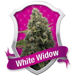 WHITE WIDOW ROYAL QUEEN