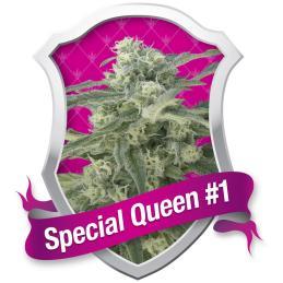 Special Queen 1 - Royal Queen Seeds - Sativagrowshop.com