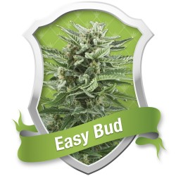 EASY BUD ROYAL QUEEN