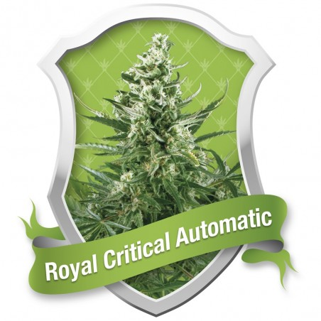 ROYAL CRITICAL AUTOMATIC ROYAL QUEEN