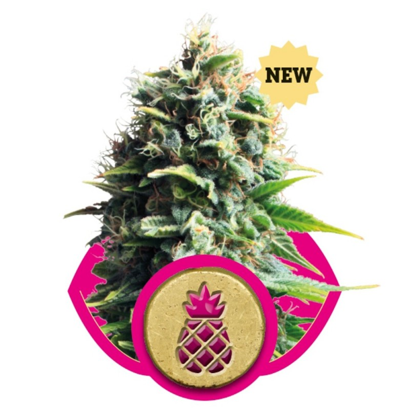 PINEAPPLE KUSH ROYAL QUEEN