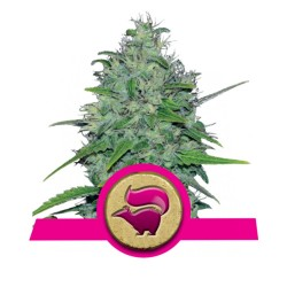 Skunk XL - Royal Queen Seeds - Sativagrowshop.com
