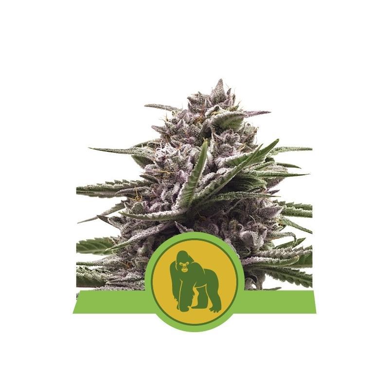 Royal Gorilla Automatic ROYAL QUEEN