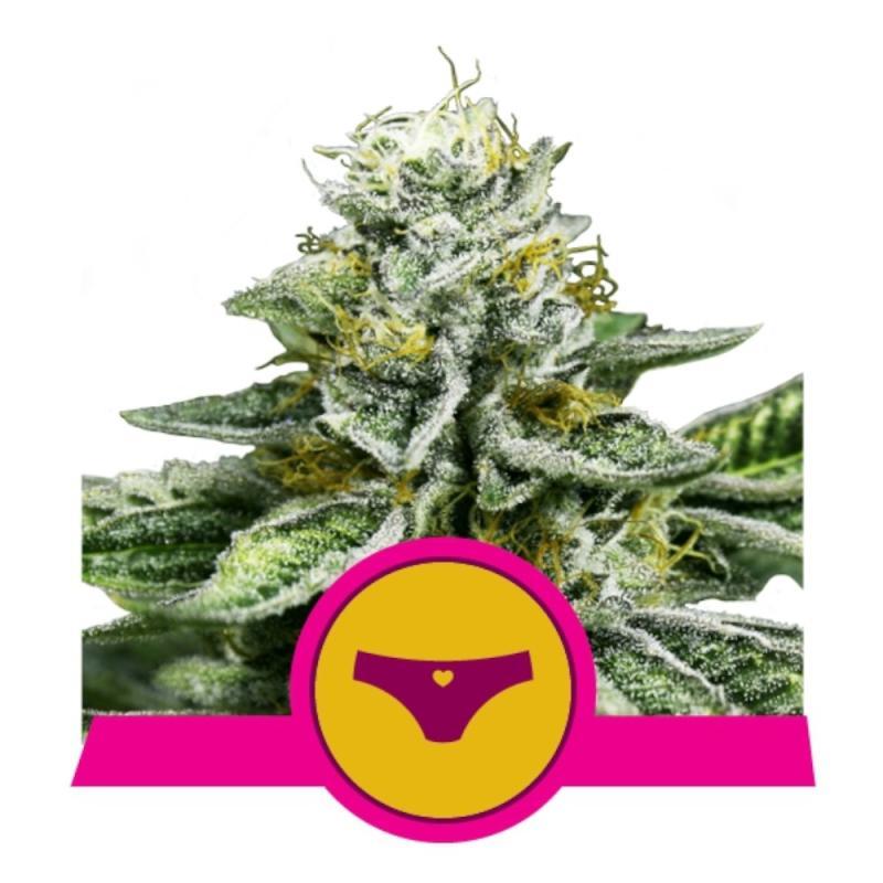 Sherbet Queen - Royal Queen Seeds - Sativagrowshop.com