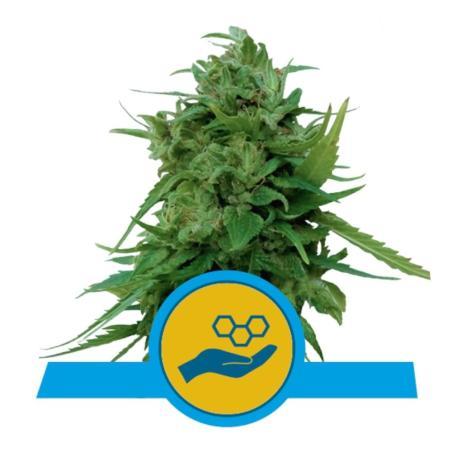 Solomatic CBD  - Royal Queen Seeds - Sativagrowshop.com