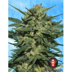 White Russian Auto SERIOUS SEEDS