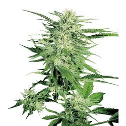 Big Bud Auto Sensi Seeds