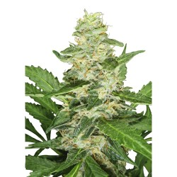 Super Skunk Automática sensi seeds