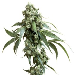 Jack Flash No-5 SENSI SEEDS