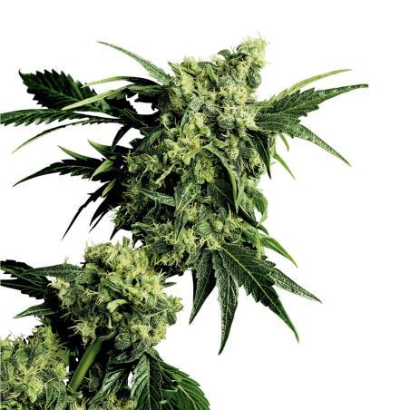 Mr Nice G13 x hashplant sensi seeds