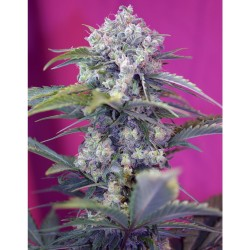 Cream Mandarine sweet seeds