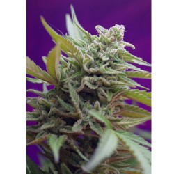 Black Jack Fast Version Sweet Seeds – Sativagrowshop.com