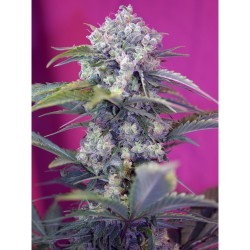 Cream Mandarine Fast Version sweet seeds