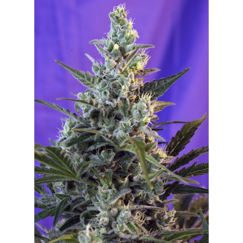 Sweet Skunk Fast Version sweet seeds