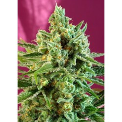 S.A.D Sweet Afgani Delicious CBD sweet seeds