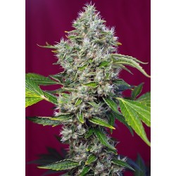 San Fernando Lemon Kush sweet seeds