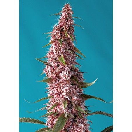 Auto Red Pure CBD sweet seeds