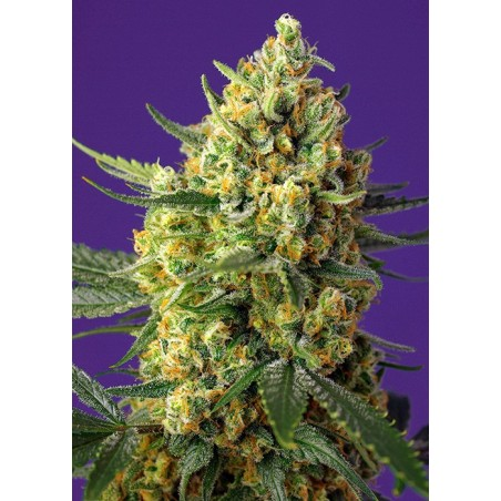 Auto Crystal Candy XL sweet seeds